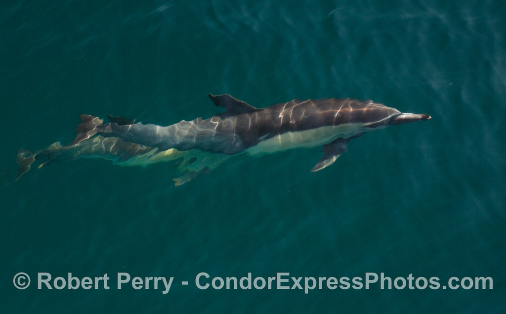 Common Dolphin (Delphinus capensis) underwater.