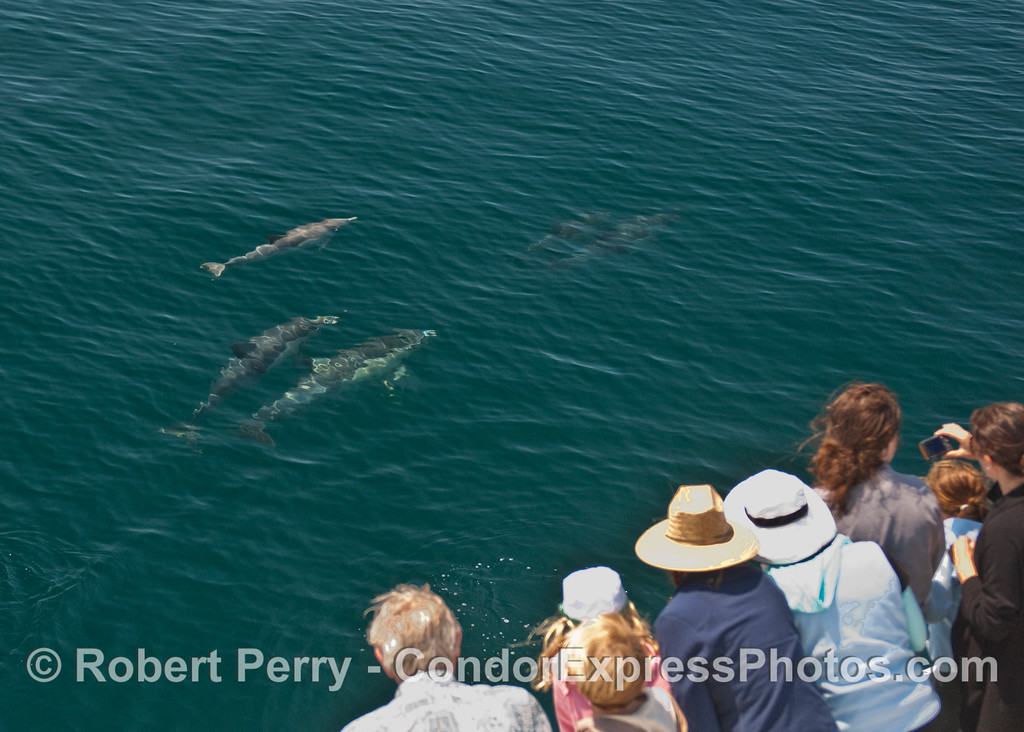Some Common Dolphins (Delphinus capensis) pay a visit to the Condor Express.