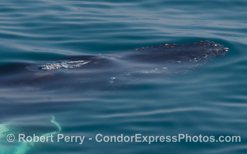Another underwater look at the beast...Humpback Whale (Megaptera novaeangliae).