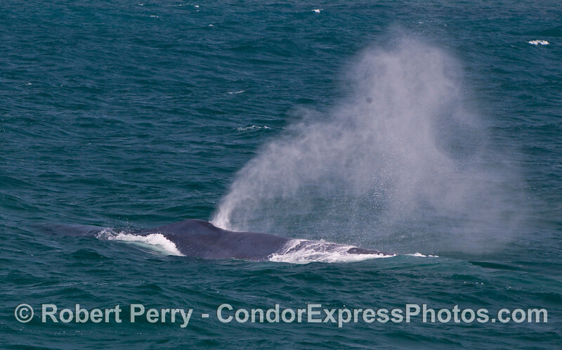 Like a powerful geyser, the spout of a Blue Whale (Balaenoptera musculus) blows in the breeze.