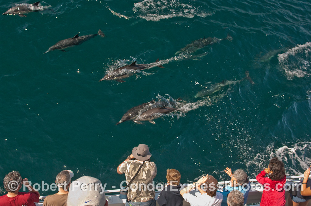 Whalers on board the Condor Express get some great close looks at a herd of Common Dolphins (Delphinus capensis).