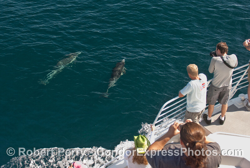 Two Common Dolphins (Delphinus capensis) visit the whalers.