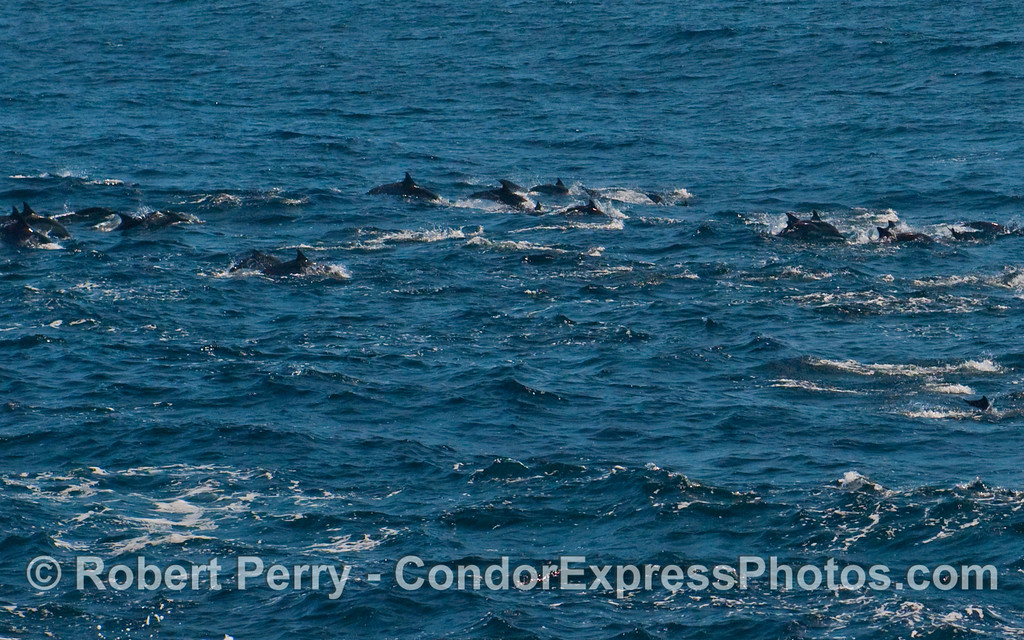 A line of leaping Common Dolphins (Delphinus capensis).