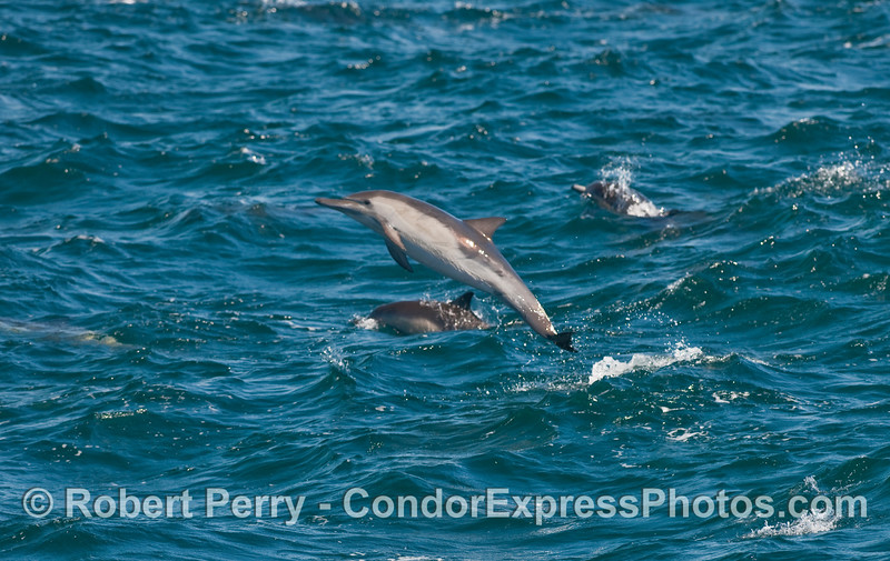 Completely out of the water on this leap:  a Common Dolphin (Delphinus capensis).