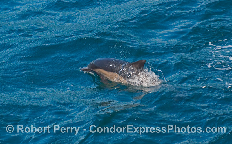 A very young Common Dolphin (Delphinus capensis).