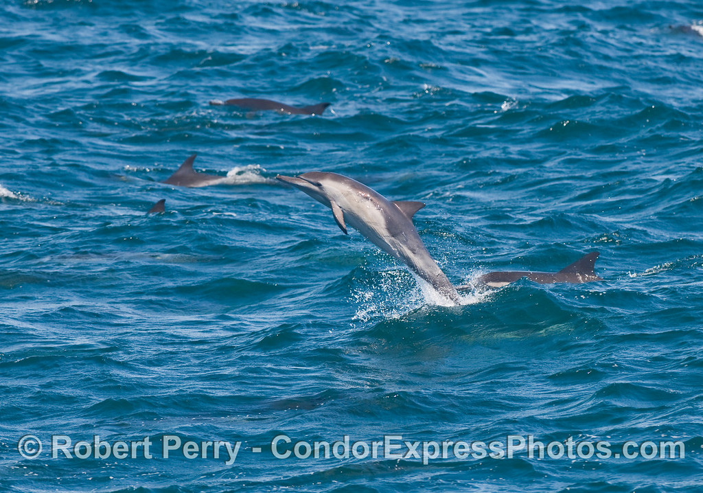 Same Common Dolphin (Delphinus capensis), more leaping.