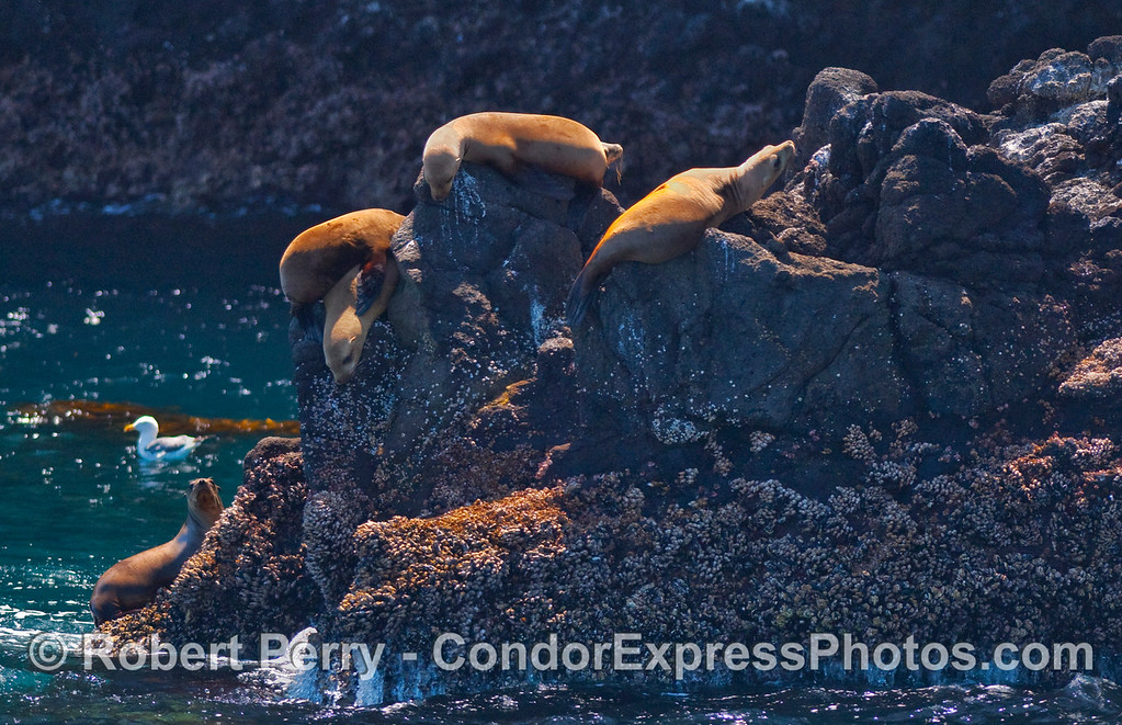 Young California Sea Lions (Zalophus californianus) climb the sea cliffs at Santa Cruz Island.