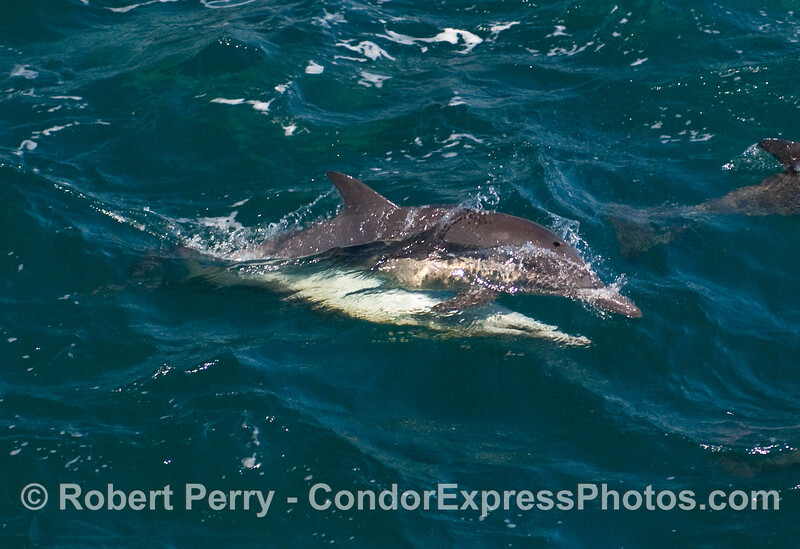Common Dolphins (Delphinus capensis) mating.