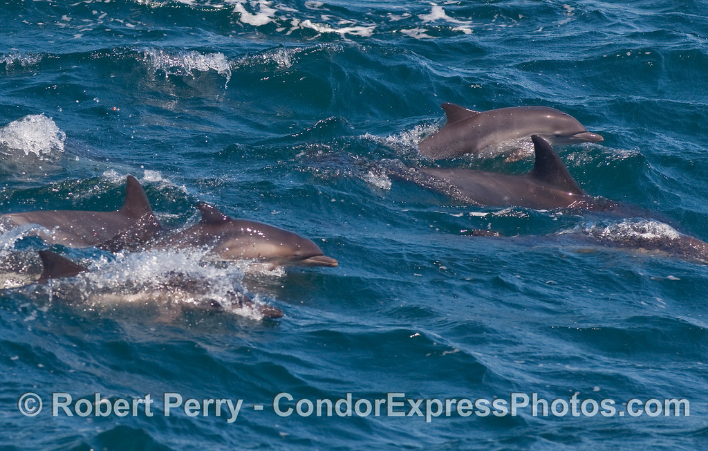 Part of a large herd of Common Dolphins (Delphinus capensis)  on the move.