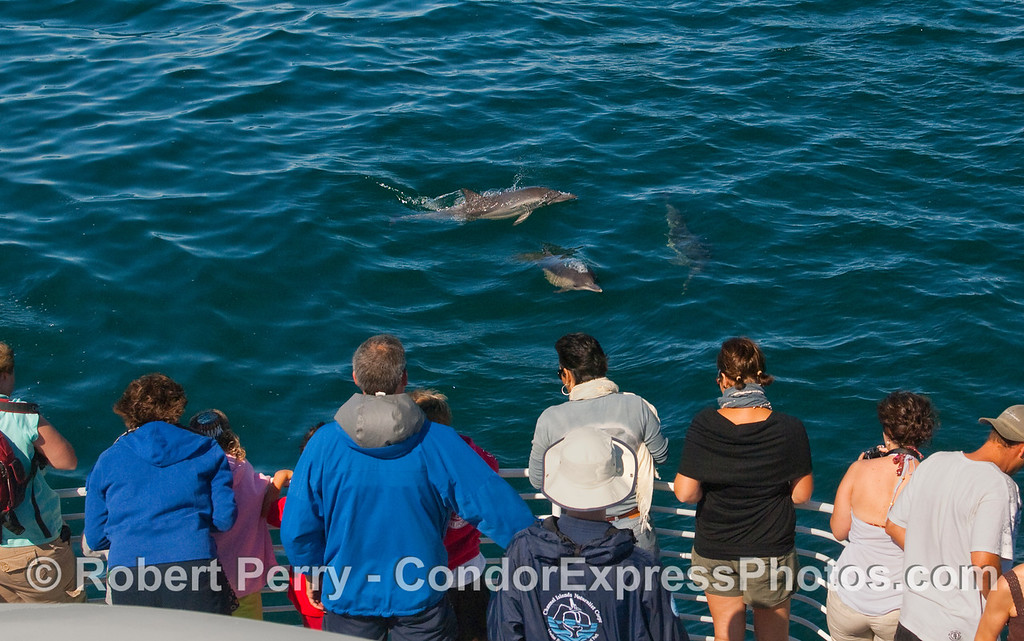 The ones with the fins and blowhole take a people-watching trip to the Santa Barbara Channel.  Common Dolphin (Delphinus capensis).