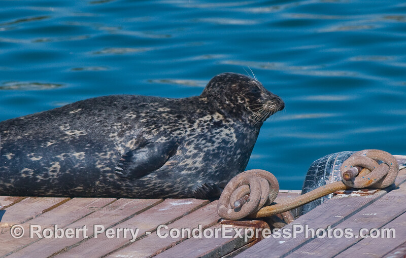 Pacific Harbor Seal (Phoca vitulina) resting in the sun.