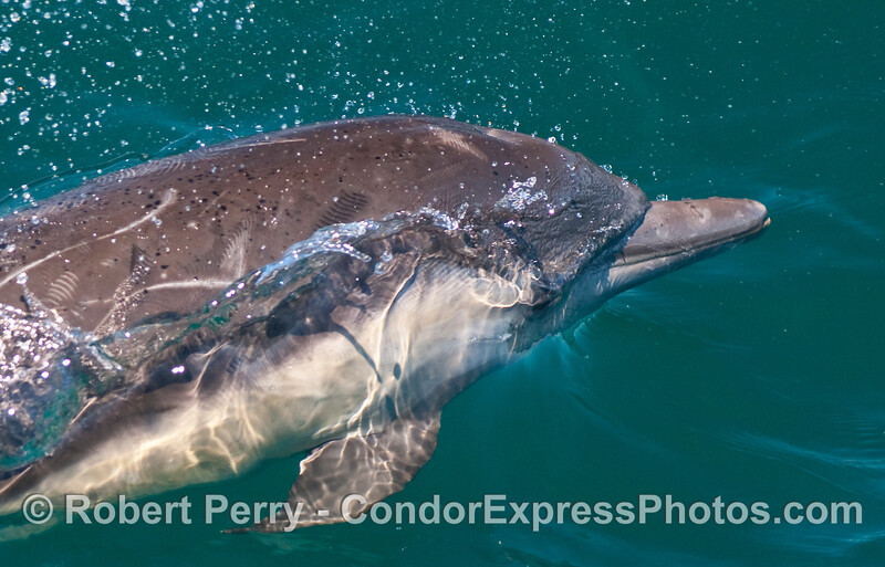 Head of a young Common Dolphin (Delphinus capensis).