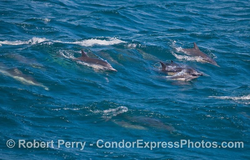Common Dolphins (Delphinus capensis) ride a smal wave.