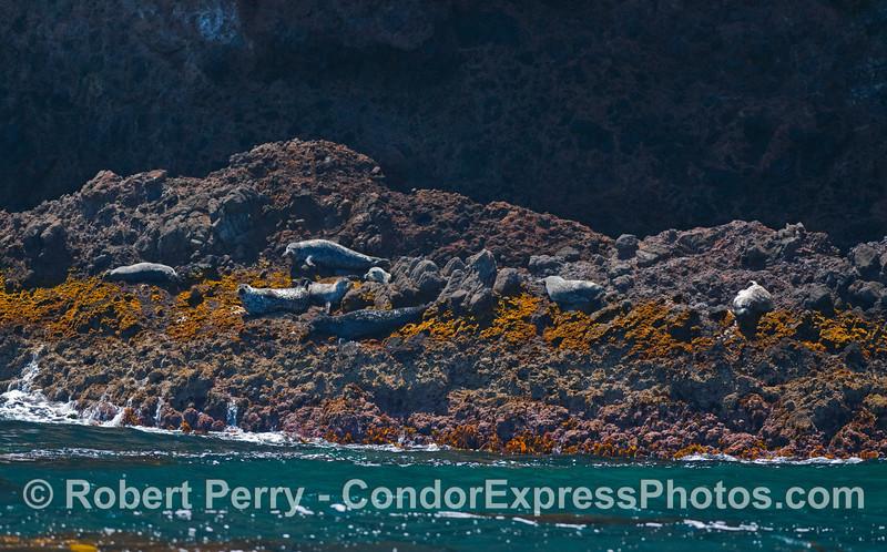 Pacific Harbor Seals (Phoca vitulina) rest on the algae covered rocks near the West End of Santa Cruz Island.