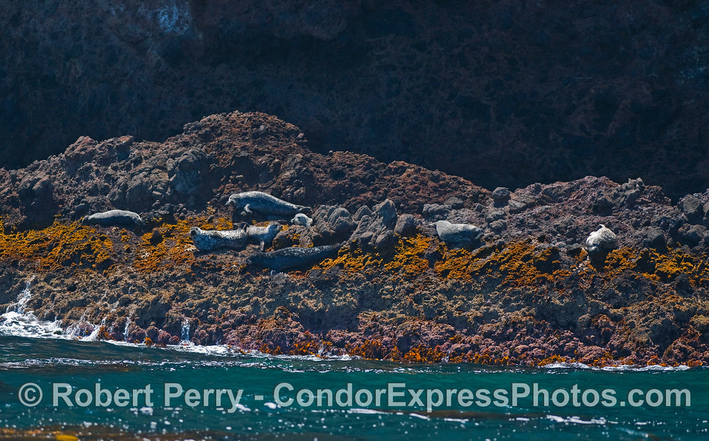 Pacific Harbor Seals (Phoca vitulina) rest on the algae covered rocks near the West End of Santa Cruz Island.
