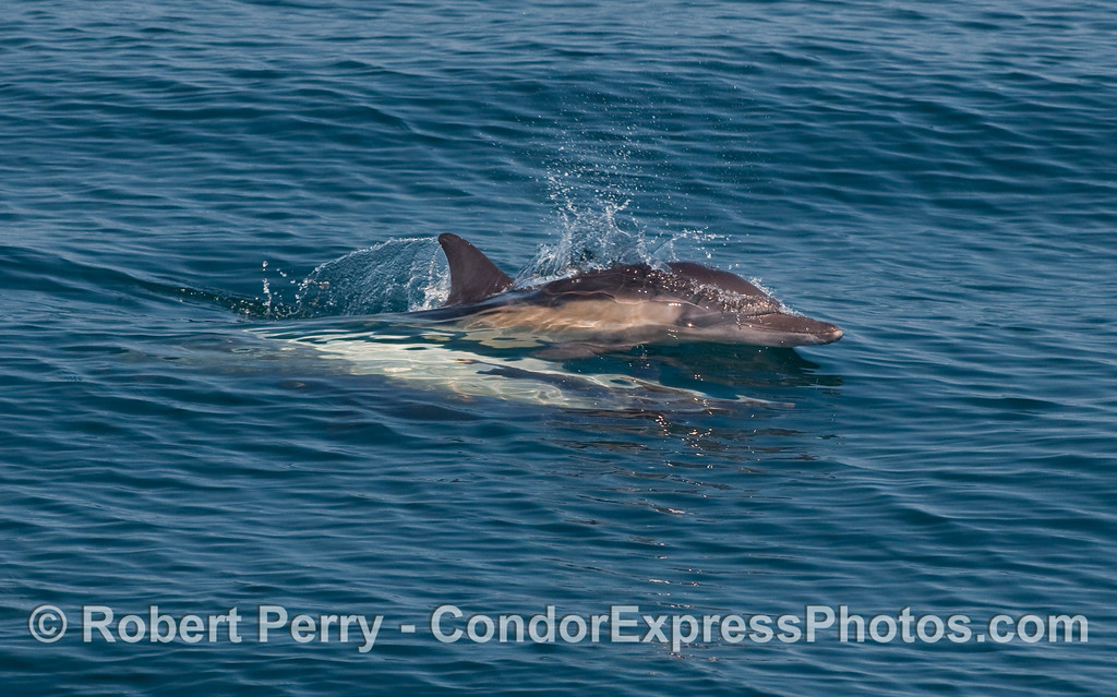 High speed mating sequence, image 2 of 2 - Common Dolphins (Delphinus capensis) ride a small wave together.
