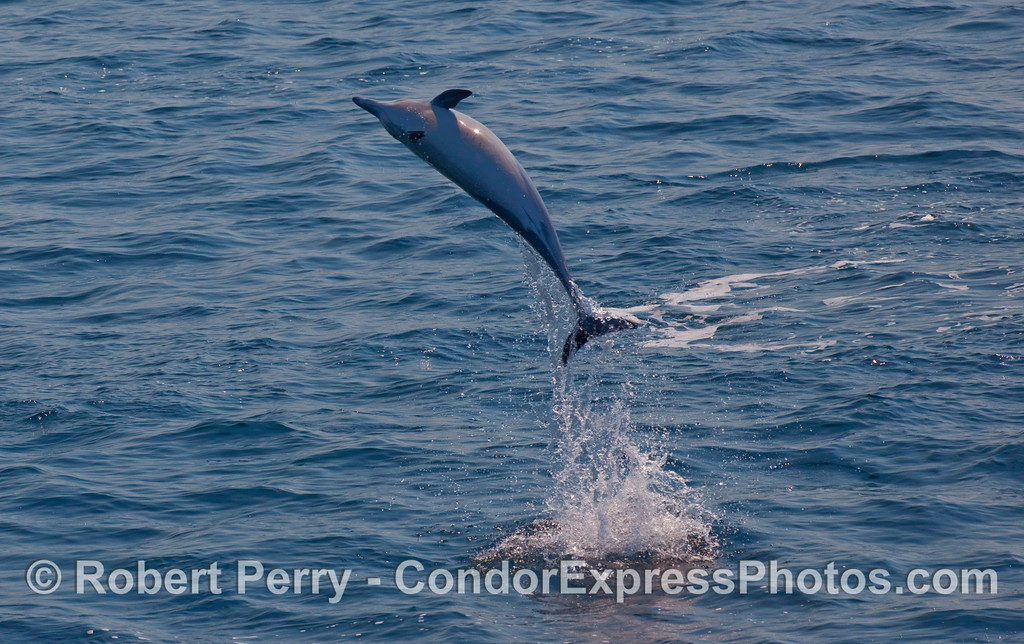 Aerial acrobatics - a Common Dolphin (Delphinus capensis) goes wild!