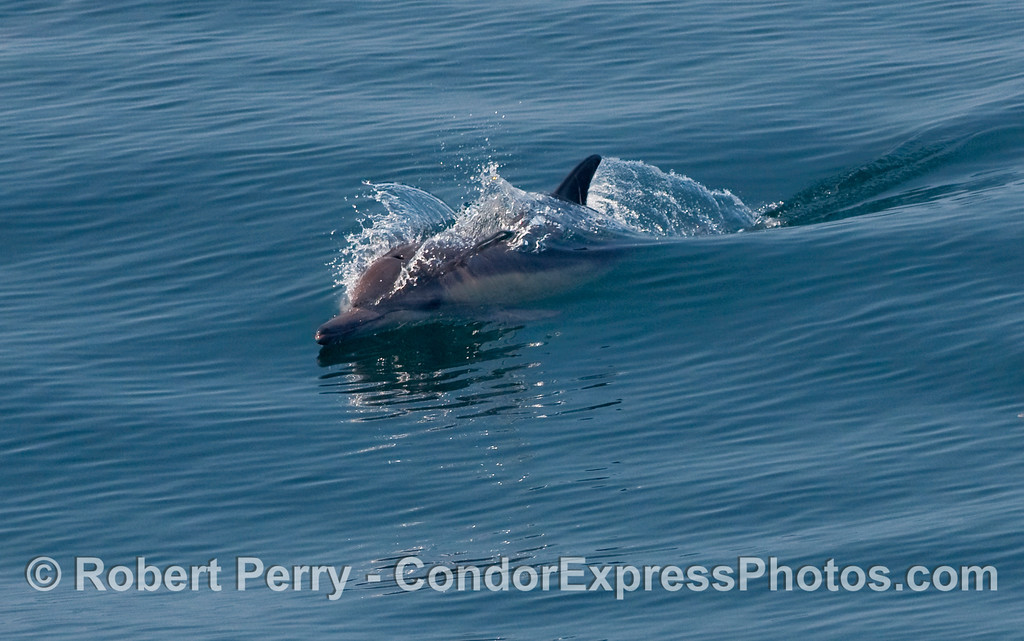 A Common Dolphin (Delphinus capensis) rides a small open ocean wave.