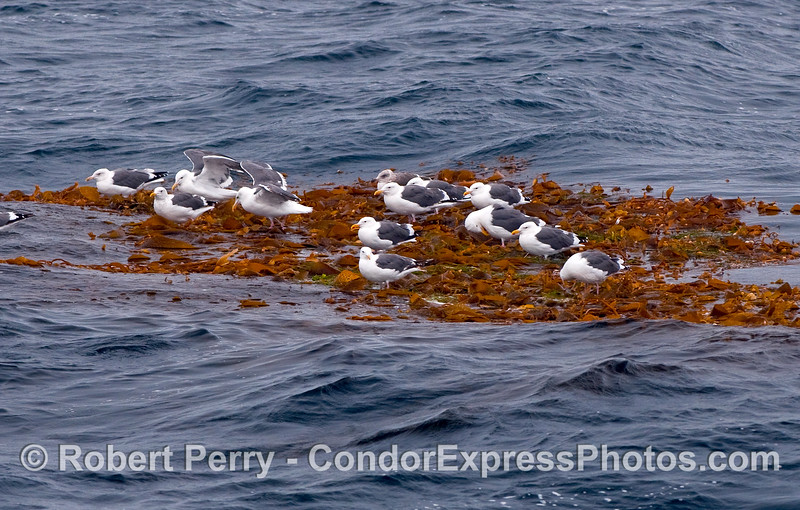 Western Gulls (Larus occidentalis) roost on a floating kelp paddy (Macrocystis pyrifera) in the Santa Barbara Channel.