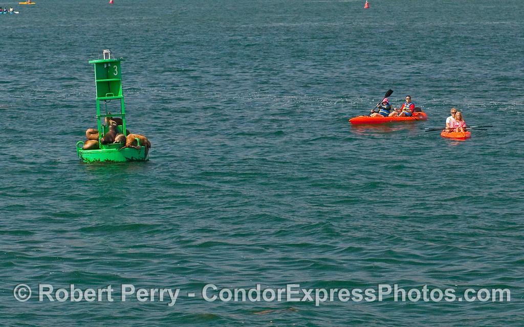 Kayaks visit the California Sea Lions (Zalophus californianus) resting on the harbor entrance buoy, Santa Barbara Harbor.