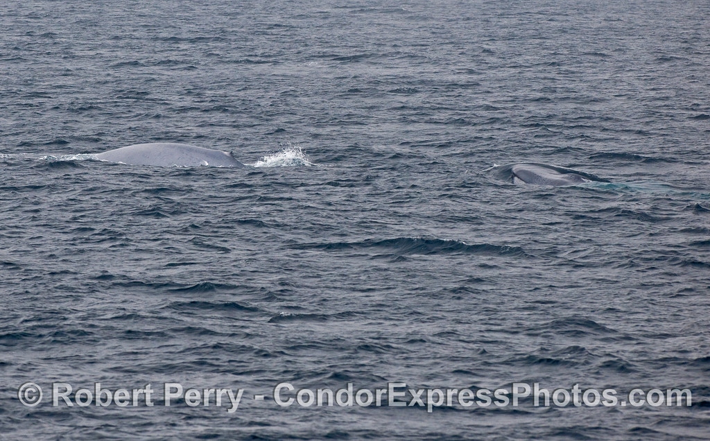 Two Blue Whales (Balaenoptera musculus).