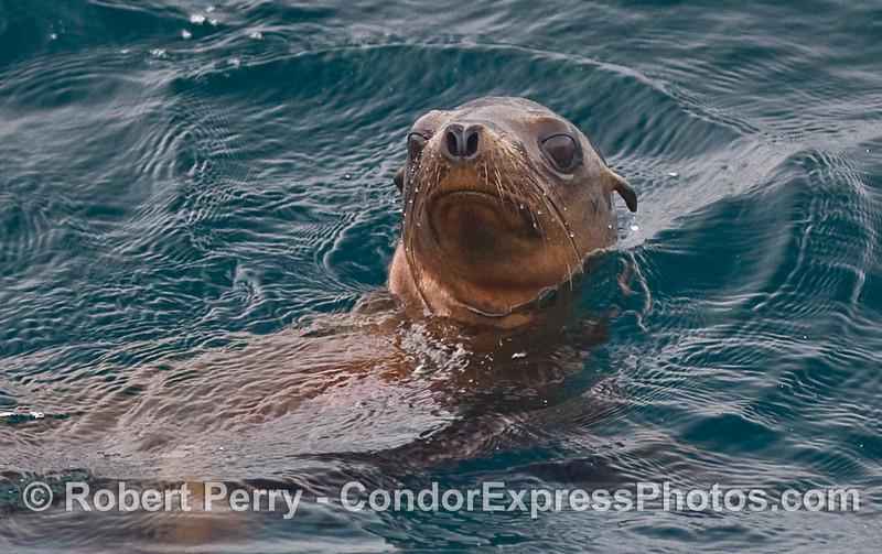 California Sea Lion (Zalophus californianus) takes a look over its shoulder at the camera.