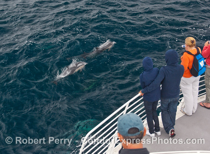 Whalers on board the Condor Express get a close up look at Common Dolphins (Delphinus capensis).