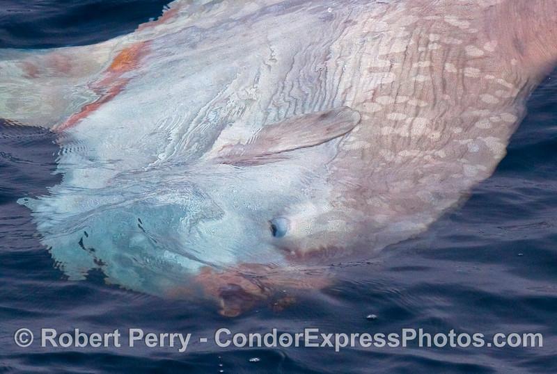 Ocean Sunfish (Mola mola) close up look at head.  (See previous image for whole body).