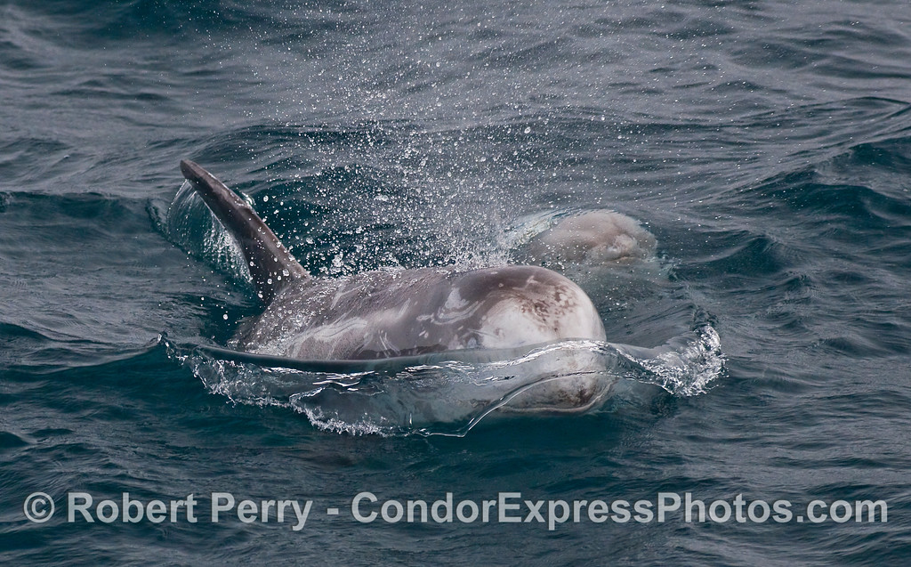Two Risso's Dolphins (Grampus griseus), one pushes out a crystal wave with its  hydrodynamic head.