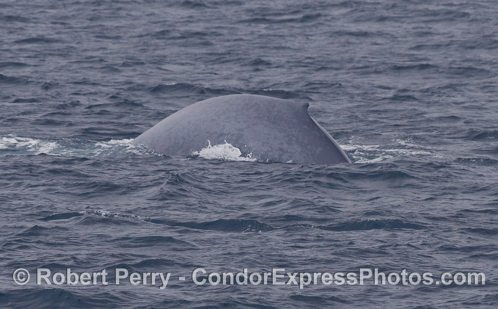 A Blue Whale (Balaenoptera musculus) arches its back and prepares for a deeper dive.