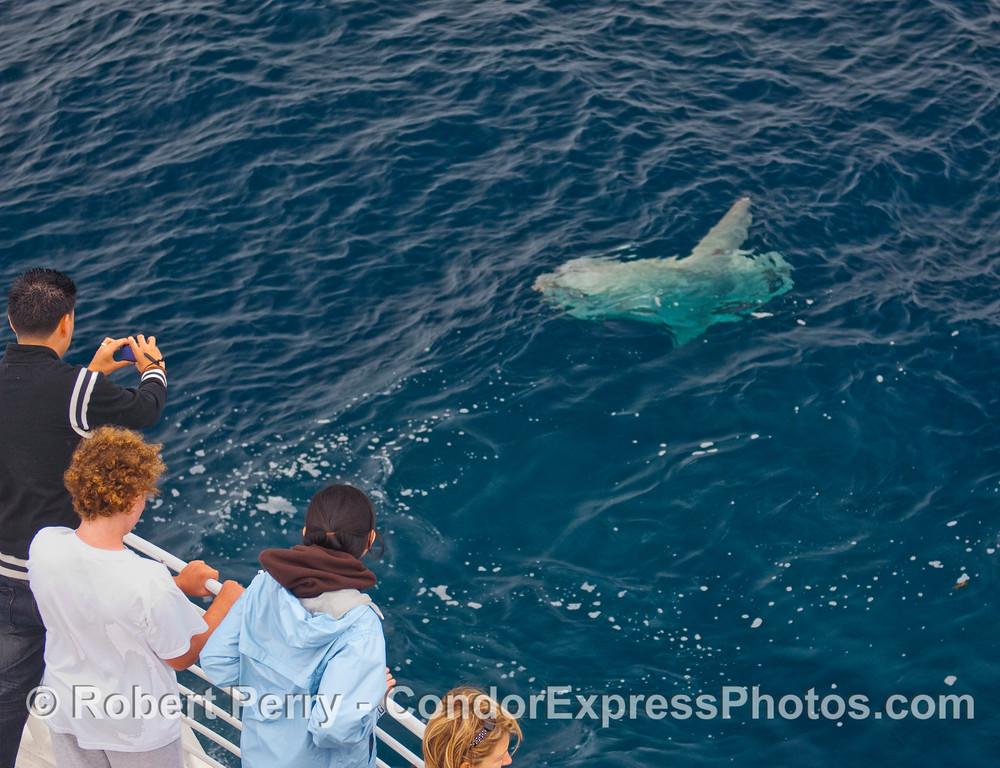Whalers get a close look at a big Ocean Sunfish (Mola mola).
