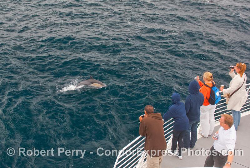 Kodak moment.  Whalers snap some shots of a frisky Common Dolphin (Delphinus capensis) close up.