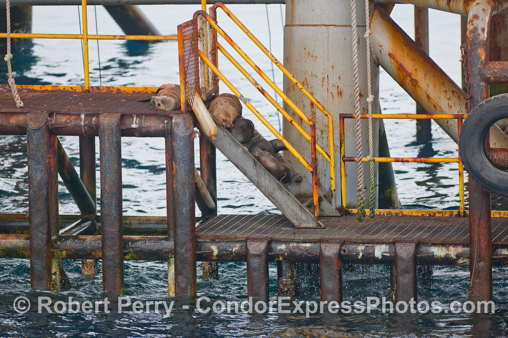 Several California Sea Lions (Zalophus californianus) climb the stairs leading up to oil platform Holly.
