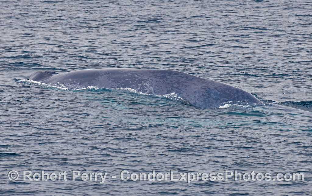 Blue Whale (Balaenoptera musculus) with the big dent and large concavity along its back.
