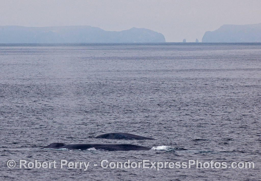 Two Blue Whales (Balaenoptera musculus) swim side by side near Anacapa Island.