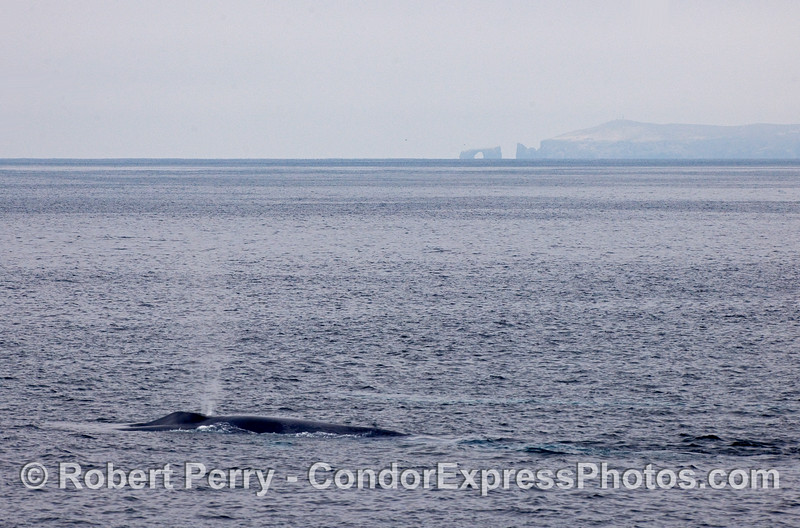 The world famous Arch Rock at the eastern end of Anacapa Island is visible in the background of this spouting Blue Whale (Balaenoptera musculus).