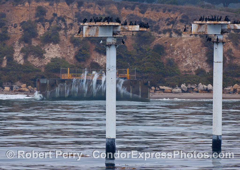 The Brandt's Cormorant (Phalocrocorax penicillatus) habitat poles with wave slamming seawall in back.