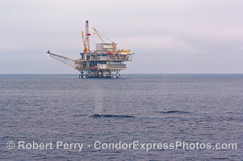 Two Blue Whales (Balaenoptera musculus) pass by oil platform Gail in the Santa Barbara Channel.