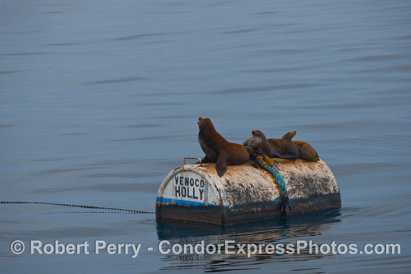 A large bull California Sea Lion (Zalophus californianus) and his small harem sit on a mooring can near oil platform Holly.