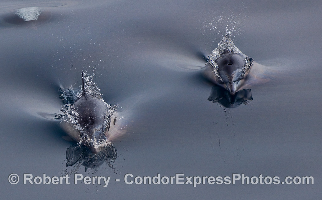 Two Common Dolphins (Delphinus capensis) on a mirror glass surface; close cropped image.