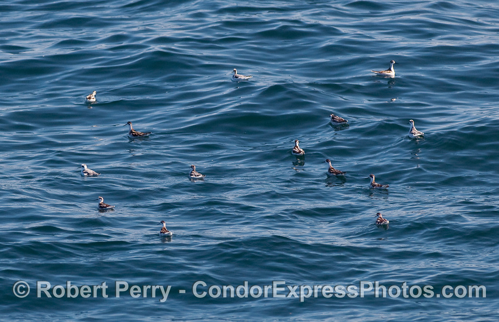 A flock of Red Necked Phalaropes (Phalaropus lobatus) resting on the water.