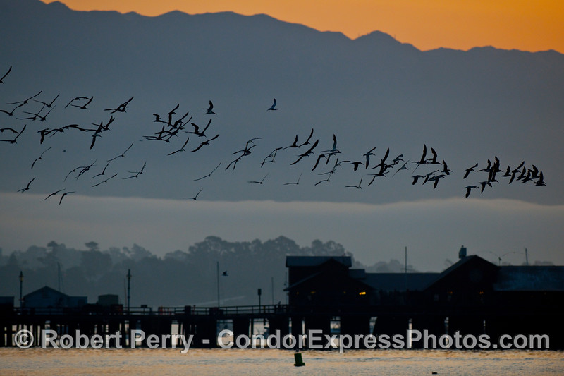 A flock of Black Skimmers (Rynchops niger) with Stern's Wharf, a fog bank and the Santa Ynez Mountains at dawn.