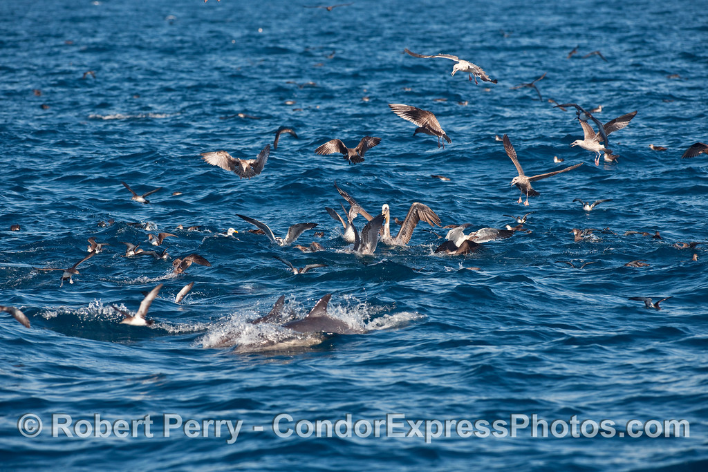 "A feeding frenzy or ocean ""hot spot"" with shearwaters, gulls, pelicans and common dolphins all joining in the action."