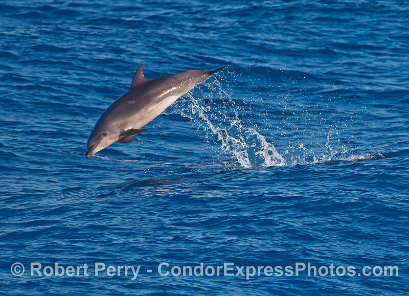 An offshore Bottlenose Dolphin (Tursiops truncatus) leaps over a wave.