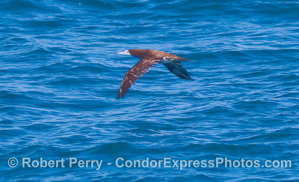A Brown Booby (Sula leucogaster) in flight.