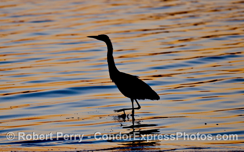 A Great Blue Heron (Ardea herodias) patrols the edge of the water in search of small fish.