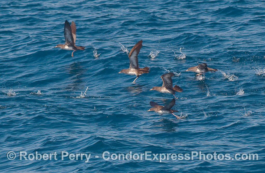 Five Pink footed Shearwater (Puffinus creatopus) taking off.