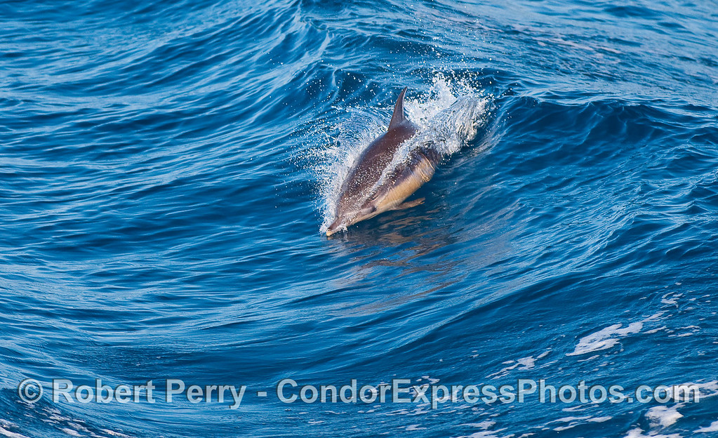 Surfing an open ocean wave...a Common Dolphin (Delphinus capensis).