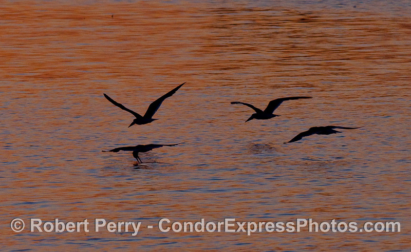 Four Black Skimmers (Rychops niger) fish the calm waters of Santa Barbara Harbor at dawn.