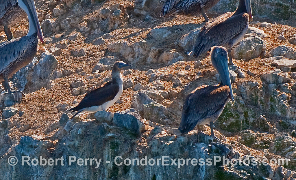 A Blue Footed Booby (Sula nebouxii) came off the water amidst a mass of gulls, shearwaters and pelicans, and eventually perched on this rocky ledge on the northern face of East Anacapa Island, below the Anacapa Light.